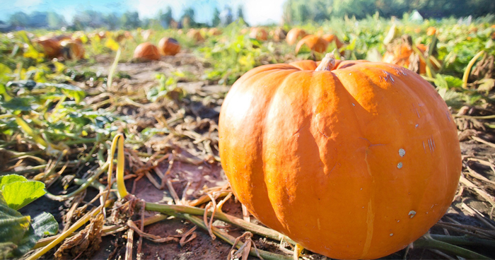 Top pumpkin patches to visit in St. Louis